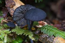 Photograph of Entoloma discrepans